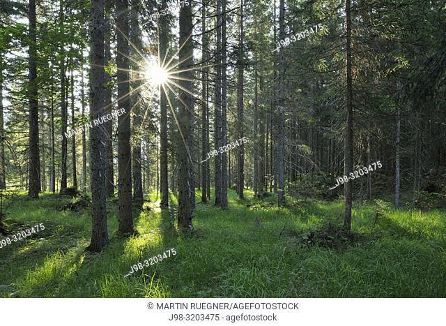 Sun with sunbeams in forest. Auronzo, Belluno district, Veneto, Dolomites, European Alps, Mediterranean Area, Italy