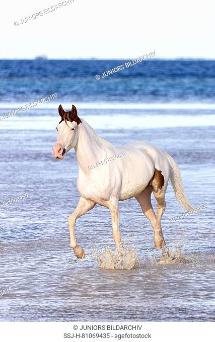 Pintabian. Juvenile mare trotting in shallow water. Egypt