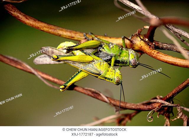 Grasshopper of borneo, Borneo