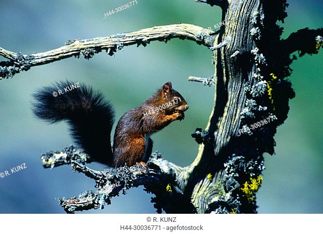 Red Squirrel, Sciurus vulgaris, Sciuridae, rodent, mammal, animal, Zervreila, Alpen, Vals, Canton of Graubünden, Switzerland