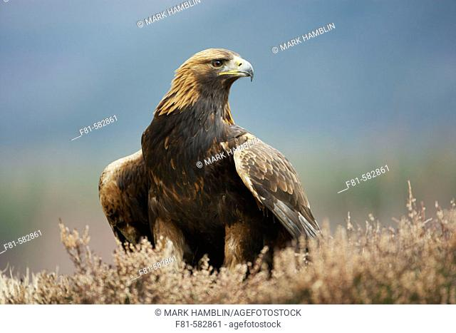 Golden Eagle (Aquila chrysaetos) portrait of adult on heather moor. Glenfeshie in the Cairngorms National Park (near Aviemore