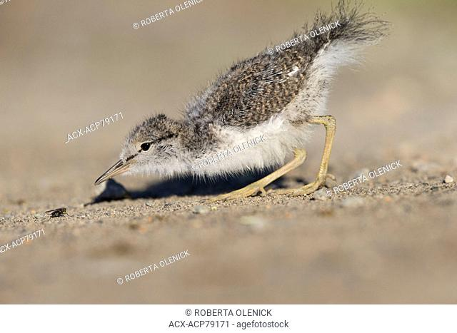 Spotted sandpiper (Actitis macularius), chick, stalking fly (O. Diptera) prey, Thompson-Nicola region, British Columbia