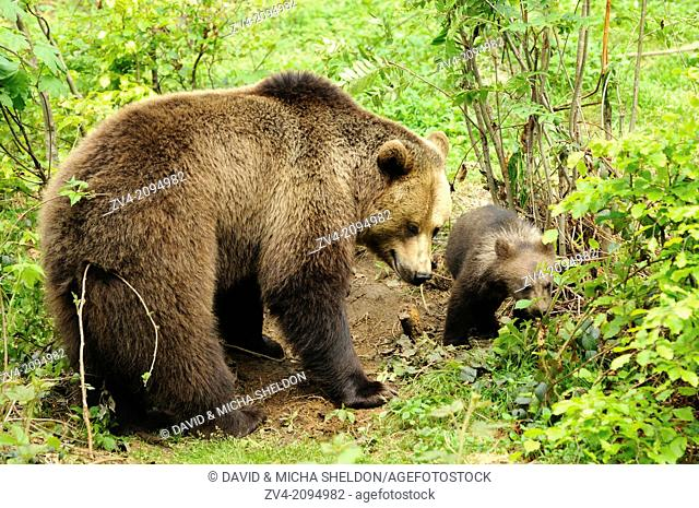 Close-up of a european brown bear (Ursus arctos) mother with her cub in the Bavarian Forest, Germany