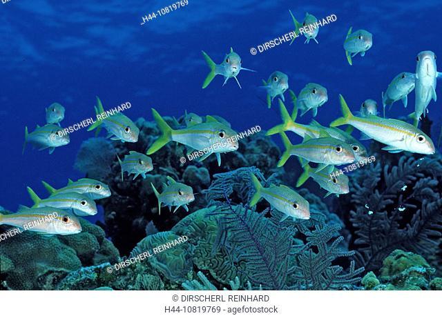 Yellow Goatfish, Mulliodichthys martinicus, British Virgin Islands, BVI, Caribbean Sea, Leeward Islands, fish, fishes