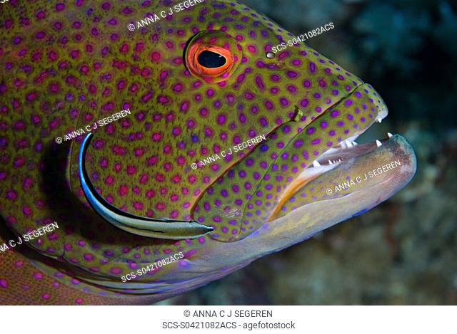 Close-up of a Moon grouper Variola louti at a cleaning station, getting cleaned by a bluestreak cleaner wrasse Labroides dimidiatus Marsa bareika