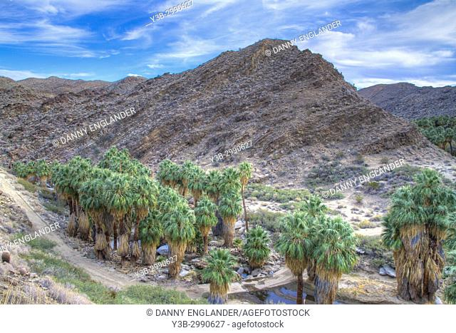 A grove of California Fan Palm trees in Indian Canyons, Palm Springs, California