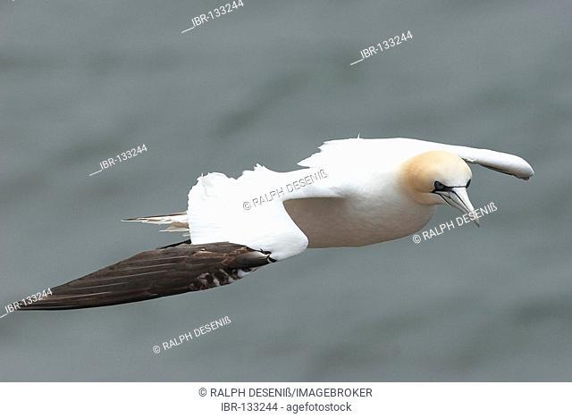 Northern Gannet (Morus bassanus) at flight