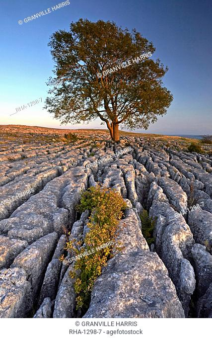 A lone mountain ash tree and limestone pavement at Malham Lings, Yorkshire Dales National Park, North Yorkshire, England, United Kingdom, Europe