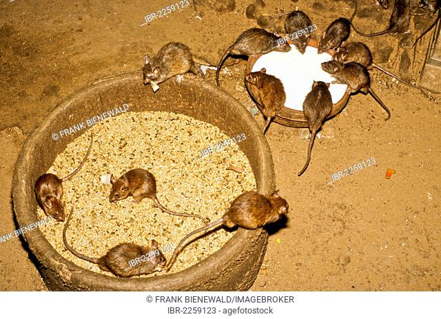 Rats of the Karni Mata Temple, believed to carry the souls of dead Sadhus until their next reincarnation, Deshnok, Rajasthan, India, Asia