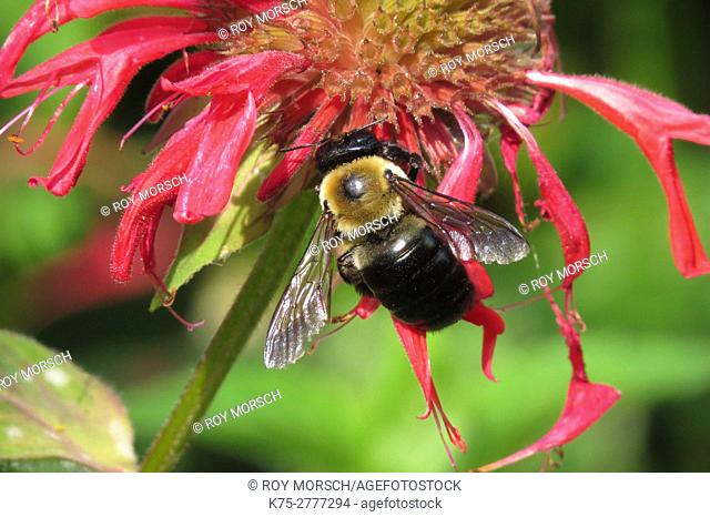 Carpenter bee (m) on bee balm