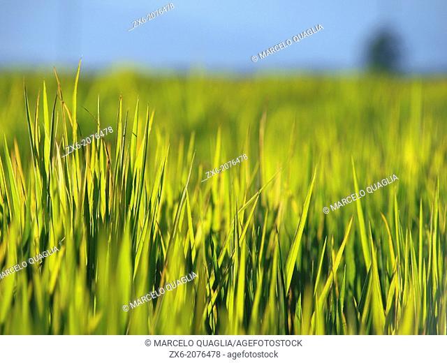 Small plants of growing rice. Ebro River Delta Natural Park, Tarragona province, Catalonia, Spain