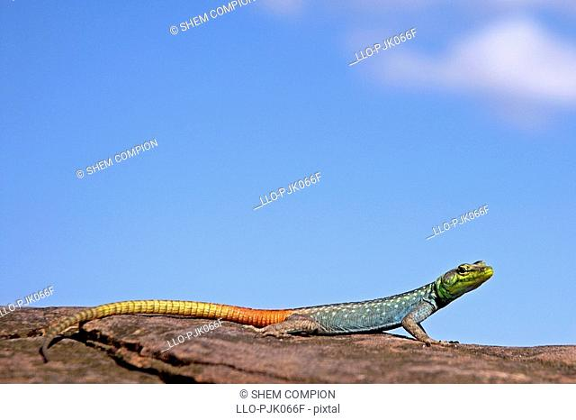 Cold blooded flat Lizard basking in the sun, Nokalodi Bush Lodge, Botswana