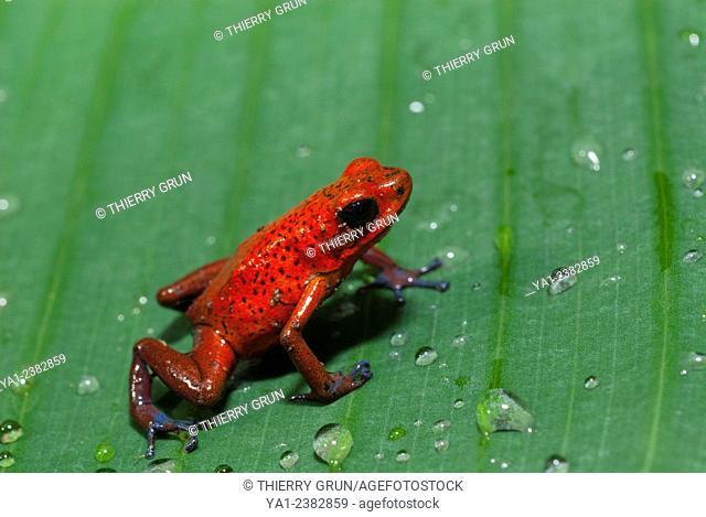 Costa Rica. National park of Tortuguero, Strawberry poison-dart frog Oophaga pumilio