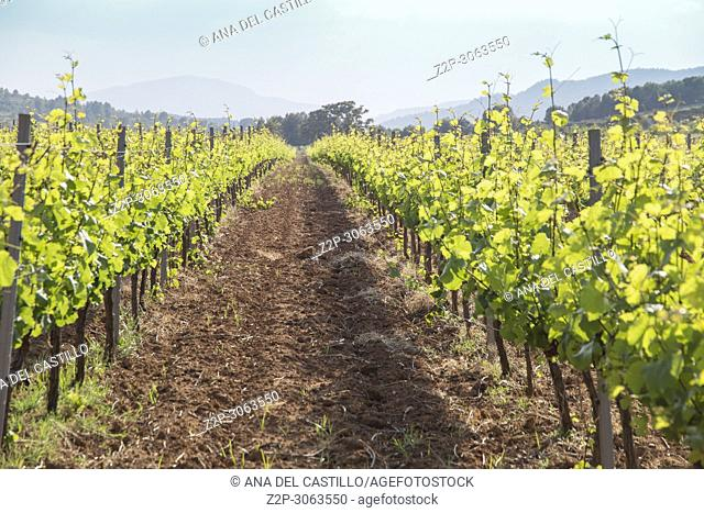 Spring vineyards Fontanars dels Alforins. Valencian community. Spain