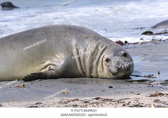 Southern Elephant Seal (Mirounga leonina), Bull, Sea Lion Isl., Falklands