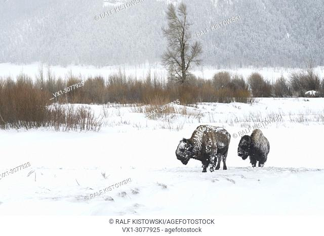 American Bisons ( Bison bison ) in harsh winter conditions, ice covered, walking through the snow, Lamar Valley, Yellowstone, Wyoming, USA.