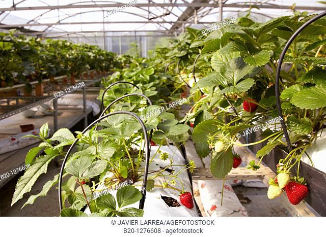 Strawberries in a greenhouse, Hernani, Guipuzcoa, Basque Country, Spain