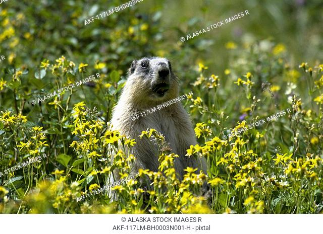 Hoary Marmot stands upright in a field of yellow wildflowers in Glacier National Park, Montana, Summer