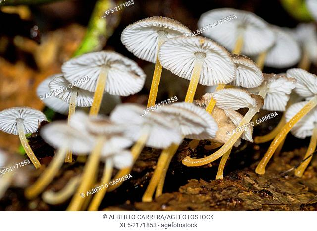Mushrooms, Tropical Rainforest, Corcovado National Park, Osa Conservation Area, Osa Peninsula, Costa Rica, Central America, America