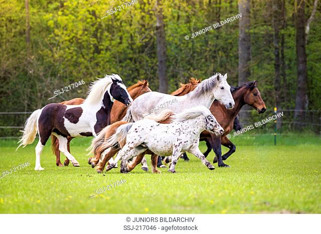 Domestic horse. Mixed herd of different breeds galloping on a pasture. Germany