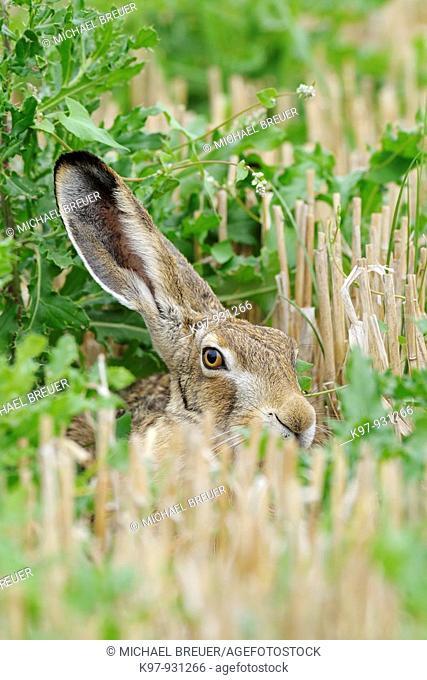 European brown hare in grain field, Lepus europaeus, Germany