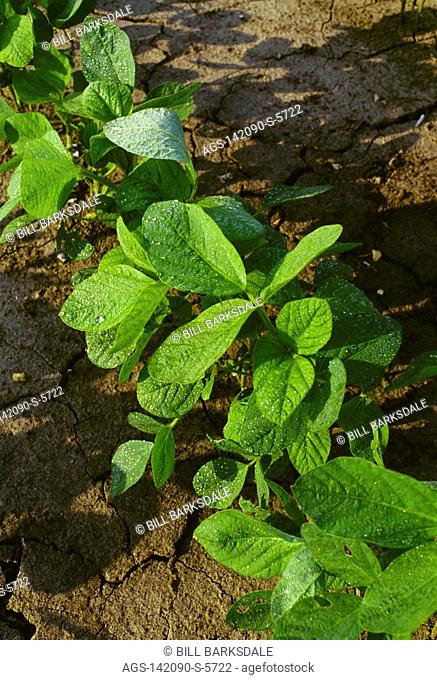 Agriculture - Early growth soybean plants growing in a conventionally tilled field / Mississippi, USA