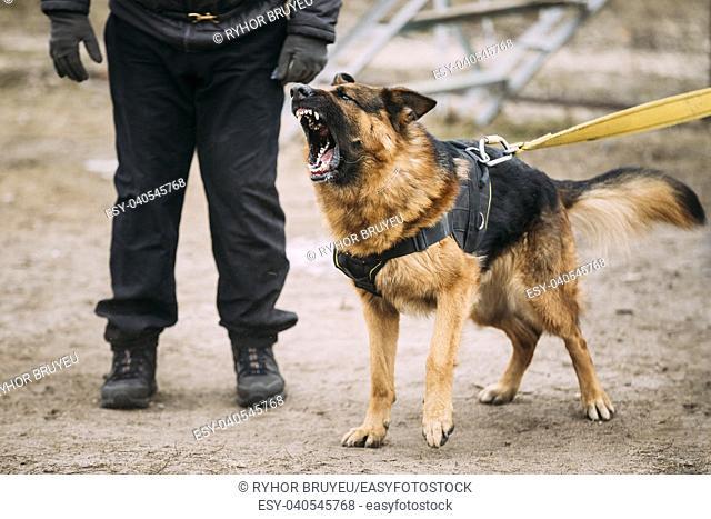 Barking Angry German Shepherd Dog on training