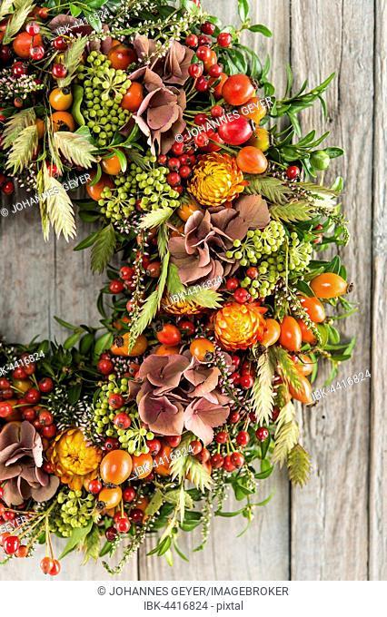 Autumn wreath cutout on wooden wall, tied with rosehip (Rosa canina), heather (Calluna vulgaris), hydrangea (Hydrangea macrophylla)