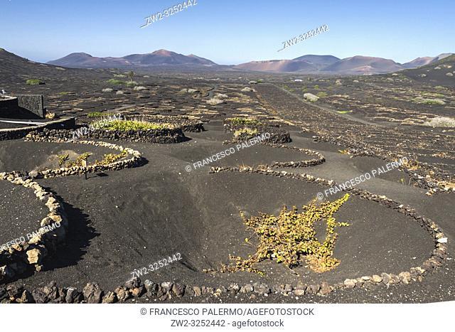 The typical Malvasia of the volcanic island. La Geria, Lanzarote. Spain