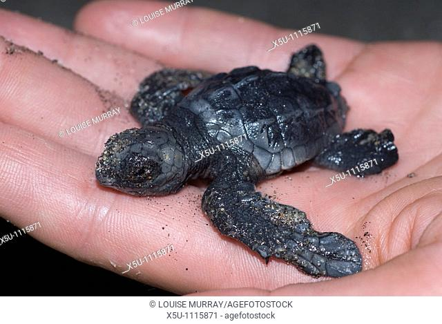 Baby turtle in hand of scientist Calrlos Sala  Olive Ridley turtles, Barra de la Cruz,Huatulco, Oaxaca, Mexico