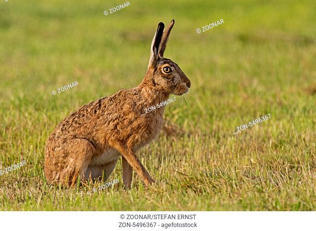 Feldhase / European hare / Lepus europaeus