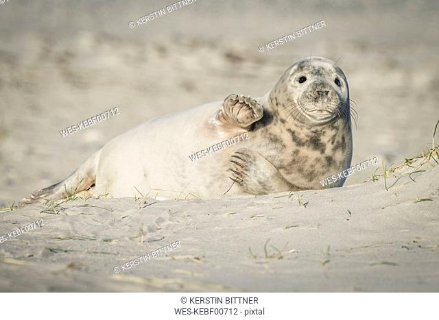 Germany, Helgoland, grey seal pup lying on the beach