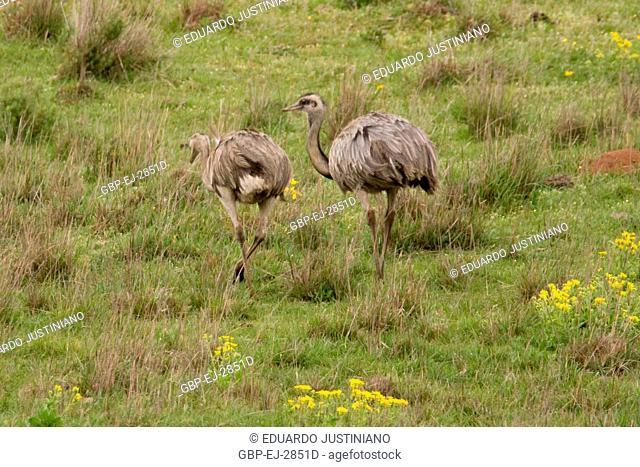 Emu (American Rhea) Grazing on in Vegetation of the Pampas, Alegrete, Rio Grande do Sul, Brazil