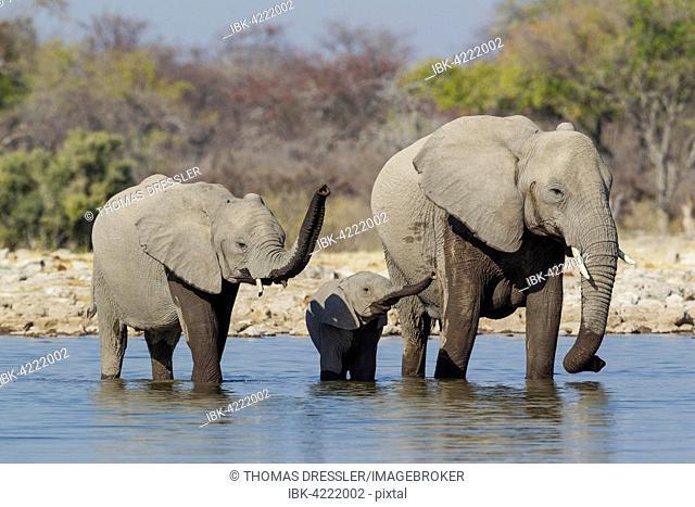 African elephant (Loxodonta africana) cow with two calves at waterhole, raising their trunks, Etosha National Park, Namibia