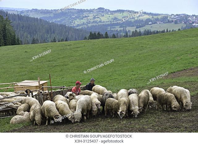troupeau de moutons parques pour la traite, Brzegi, environs de Zakopane, region Podhale, Massif des Tatras, Province Malopolska (Petite Pologne), Pologne