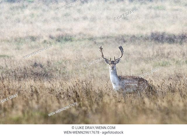 A fallow deer in torrential rain at Petworth Park, a National Trust estate in West Sussex, England. Featuring: Atmosphere Where: Petworth