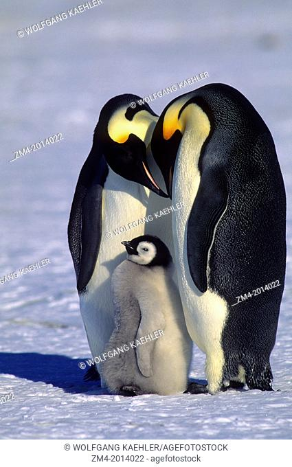 ANTARCTICA, JELBART ICE SHELF, ATKA ICEPORT, EMPEROR PENGUIN PAIR, WITH CHICK, DISPLAYING