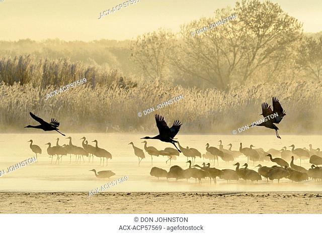 Sandhill Crane Grus canadensis Roosting flock preparing to depart pond, Bosque del Apache NWR, New Mexico, USA