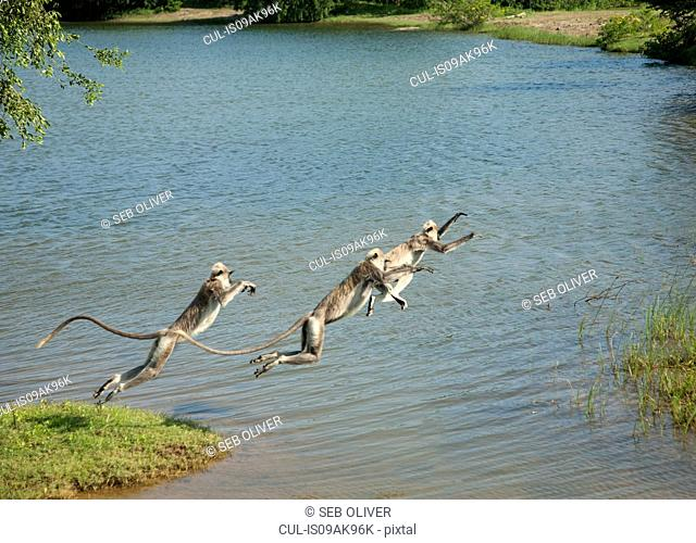 Tree toque macaque (Macaca Sinica) monkeys leaping over lake, Sri Lanka