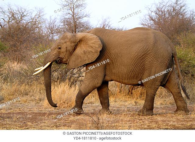 African Elephant Loxodonta africana - Female, Kruger National Park, South Africa