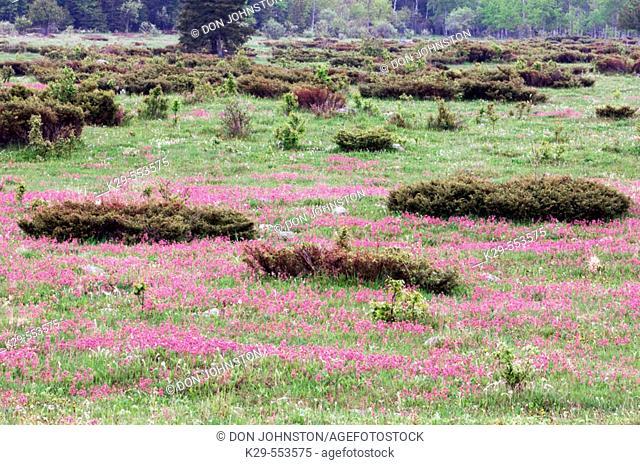 Upland alvar with flowering Prairie Smoke (Geum triflorum), Juniper and Oak trees in spring. Manitoulin Is., Ontario, Canada