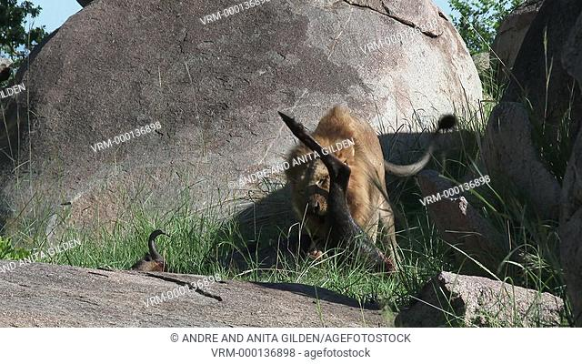 Male Lion (Panthera leo) eating from Wildebeest, standing on Koppie