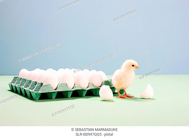 Chick next to broken egg by carton