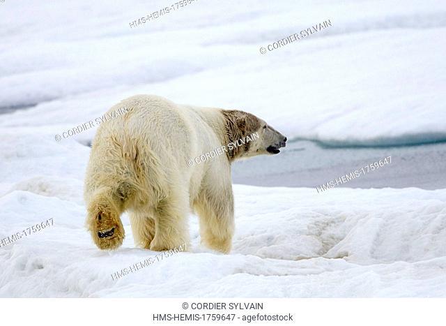 Russia, Chukotka autonomous district, Wrangel island, Polar bear (Ursus maritimus), Adult, Male
