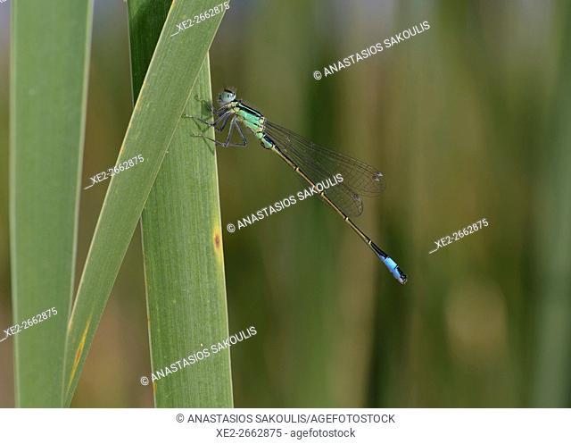 Blue-tailed Damselfly - Ischnura elegans, Crete