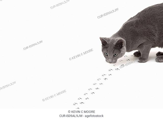 Russian Blue cat hunting