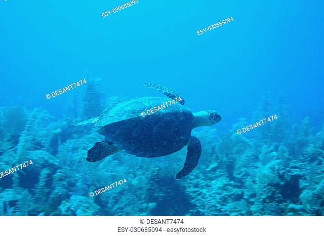 sea turtle coral life underwater