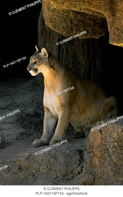 Puma / mountain lion / cougar (Felis concolor) sitting in the evening sun at entrance of cave, native to the Americas