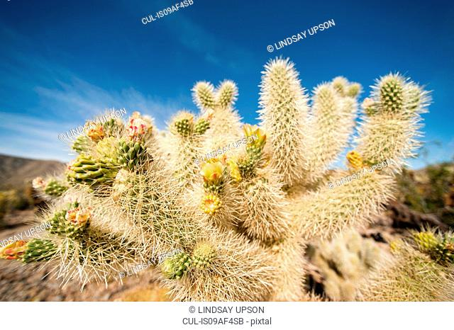 Flowering cactus, Joshua Tree national park, California, USA