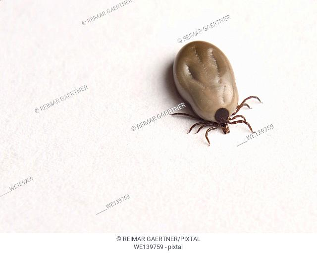 Engorged female Blacklegged Deer tick on white paper top view